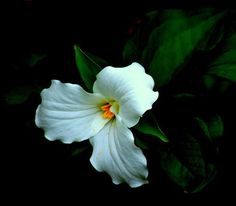 White Trillium Photograph by Rosanne Jordan