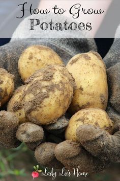 Everything you need to know about how to grow potatoes. How to plant potatoes,care for your potato plants, harvest, and store your crop for a long time. #LadyLee'sHome Backyard Garden Landscape, Small Backyard Gardens, Backyard Farming, Large Backyard, Small Backyards, Garden Spaces, Small Gardens, Planting Potatoes, Grow Potatoes