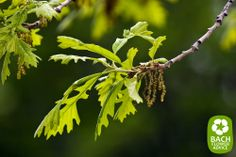 Bach Flower Essence Oak treats stubbornness by helping us to know when to quit. Read on for free personal advice on Bach Flower essences. Bach Flowers, Herbal Plants, Herbalism, Remedies, Herbs, Exhausted, Strength, Advice, Treats