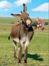 Baby Donkey, Cute Donkey, Mini Donkey, Donkey Funny, Donkey Donkey, Baby Cows, Farm Animals, Animals And Pets, Funny Animals