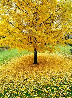 Allan Mandell gingko tree in the fall. Gorgeous #autumn