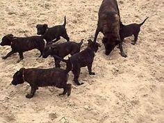 Hollandse Herder pups