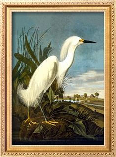 Snowy Egret Premium Poster by John James Audubon at Art.com