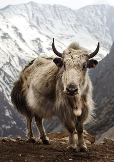 Yak (Bos grunniens) at Letdar on the Annapurna Circuit in the Annapurna mountain range of central Nepal |