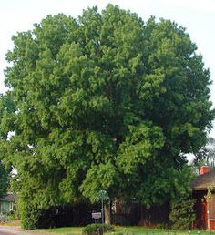 Silver Maple Tree.  Fast growing, should never plant near your home.