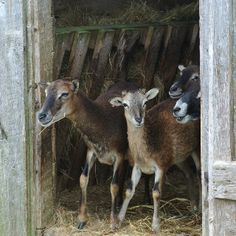 Soay sheep Scottish Animals, Llamas, Nova Scotia, Livestock, Country Life, Farm Animals, Animals Beautiful, Sheep, Goats