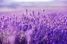 """Relaxing harp music for stress relief (called """"Purple Flowers"""") that can be used as sleep music, background music, meditation music spa music and study music. Lavender Fields, Lavender Flowers, Purple Flowers, Beach Flowers, Purple Colors, Lavender Oil, Relaxing Harp Music, Calming Music, Growing Lavender"""