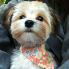 morkie puppy cut - Google Search