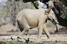 Adult male elephant