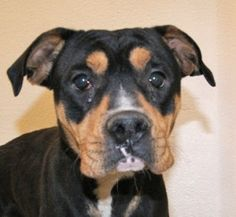 From Susie: Diego is a Rottweiler Shar-Pei mix. Bordeaux, Shar Pei Mix, Rottweiler Mix, Timber Wolf, Animals And Pets, Best Dogs, Image, Pets, Gray Wolf