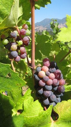 Tuesday, Sept. 4th, 2012. Zinfandel in Grgich Hills Estate's Calistoga Vineyard. The grapes enjoyed a sunny weekend with warm but not too hot weather: perfect for ripening grapes.