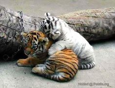 "* * ORANGE TIGER: "" Just the two us, and if  yoo don't stop fidgeting, it'll be just the one  of us."""