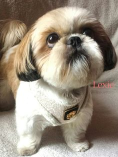 48 Trendy dogs and puppies shih tzu faces Shih Tzu Hund, Perro Shih Tzu, Shih Tzu Puppy, Shih Tzus, Shitzu Puppies, Cute Puppies, Cute Dogs, Dogs And Puppies, Bichon Frise
