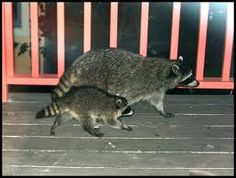 giant racoon - Google Search