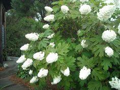 Oak Leaf Hydrangea for sale at online nursery co. Buy plants online from a 57…