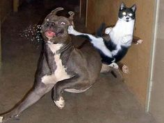 DOG: leaves his room for a bit Cat: suprise attack Dog: wahhhhhhhhhhhh OMG THE CAT IS TRYIN TO KILL ME SOMEONE HELP CAT: GUYS I NEED BCKUP