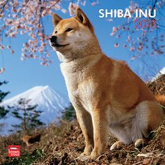 Shiba Inu Wall Calendar: The smallest and oldest of Japan's dogs, the Shiba Inu was bred for hunting in the dense undergrowth of Japan's mountainous regions. With a thick plush coat, a black button nose, an animated tail, and endearing teddy bear ears, the Shiba is inquisitive, intrepid, and forthright.
