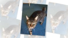 Hampton is so handsome! This exquisite male tabby #AmericanBobtail cat is just 10 years old, and such a nice kitty. He is absolutely adorable – and his personality shines. Hampton is very healthy, neutered, up to date on shots, clean, litter box trained and well behaved.  Adopt this very unique cat today! #Cleveland #Ohio https://pet-net.net/hampton-american-bobtail-cat-ohio/