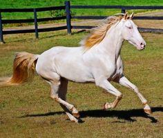 Perlino Rocky Mountain Horse gelding, RRF's Dillinger. photo: D & D Snyder.