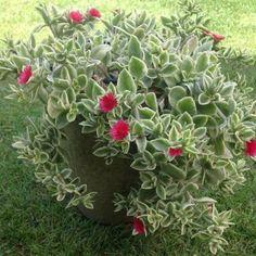 Dorotheanthus bellidiformis 'Mezoo Trailing Red'