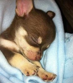 Cute Puppies, Cute Dogs, Dogs And Puppies, Doggies, Cute Baby Animals, Funny Animals, Baby Chihuahua, Cute Animal Pictures, Little Dogs