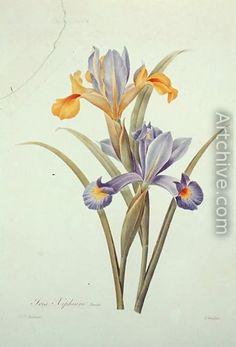 Iris - Pierre-Joseph Redoute