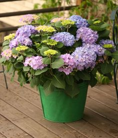 Let's Dance Rhythmic Blue hydrangea will only mature to a height of 2 to 3 feet, so is an easy choice for a container on your deck. Hardy to zone 5.