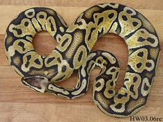 Ball Python: reptile. These big snakes are heavy and have distinct markings and a large, round head