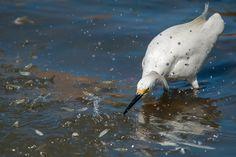 Foto garça-branca-pequena (Egretta thula) por Paulo Fenalti | Wiki Aves - A Enciclopédia das Aves do Brasil