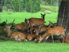 White Tail deer herd