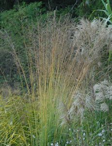 Molinia arundinacea 'Windsäule' - Hohes Pfeifengras