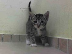 BABY ROSA KILLED - TO BE DESTROYED 8/7/14 ** ROSA - ADORABLE BABY ALERT! ONLY 5 WEEKS OLD! Stray nursing kitten.FEMALE CAME WITH LITTER KITTENS A1008526, A1008527 AND MOM A1008524 (FLOR) ** Center My name is ROSA. My Animal ID # is A1008525. I am a female brn tabby and white domestic sh mix. The shelter thinks I am about 5 WEEKS old. I came in the shelter as a STRAY on 07/29/2014