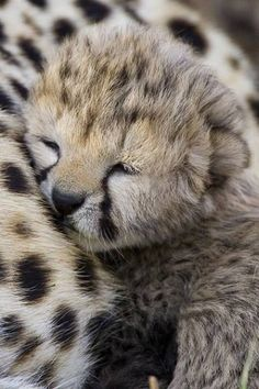 The tiny cheetah cubs that have a slow, gentle start in life