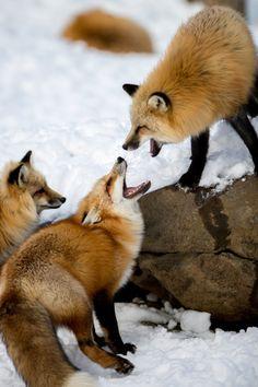 "Red Foxes: ""A Dispute.""                                (Zao Fox Village in Japan. Ovopack.  Ryota Murayama.)"