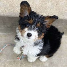 Corgi Poodle Mix, Poodle Mix Breeds, Dog Crossbreeds, Future Vision, Dog Mixes, Pets 3, Purebred Dogs, Different Dogs, Kinds Of Dogs