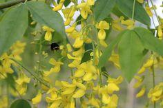Laburnum Vossii and Bee