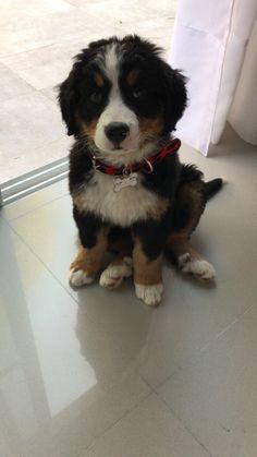 Bernese Mountain, Mountain Dogs, Cute Baby Animals, Doggies, Cute Babies, Puppies, Pets, Board, Factory Farming