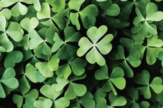 Is There a Difference Between a Shamrock and a 4-Leaf Clover?