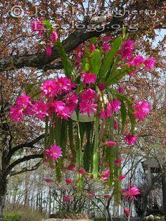 Disocactus hybrid; Epiphyllum Coral Geisha
