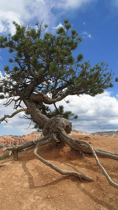 Juniper Tree, Photo by JohnU235: The bark of the tree is always fibrous, mostly colored grey & appears to be shredded into long strips along the trunk of the tree. It gives the appearance of being tightly curled when in reality it is not. These trees have massive root systems as they seek to survive in the harshest of environments.