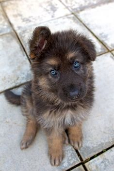 German #Shepherd #Dog OMG beautiful!!!