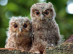 オオコノハズク(学名:Otus lempiji)の子どもたち。卵から孵ってほんの数週間
