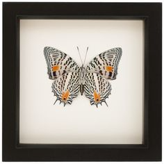 Butterfly Display Case Real Insect Taxidermy Art Baeotus ($40) ❤ liked on Polyvore featuring home, home decor, wall art, black, home & living, home décor, wall décor, wall hangings, framed wall art and train wall art