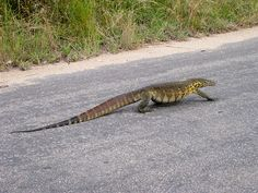 This is a Nile Monitor Lizard and it must be at the top of the most hated Alien species living in Florida list.  The Florida Fish and Wildlife officers are having a hell of a time getting rid of them.  They are large (5-7 ft.) aggressive, have sharp teeth & claws, swim, climb trees and are generally dangerous.