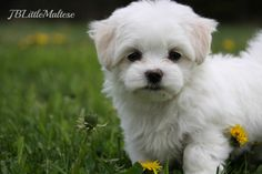 Maltese puppy at JBLittleMaltese Reg'd ~ www.jblittlemaltese.com  Top Canadian Show breeders of purebred Maltese dogs