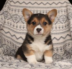 ✈️🚉Need a traveling buddy? Meet Mindy she is an #energetic #little #WelshCorgi(Pembroke) puppy who would love to join you and be part of all your adventures. Mindy will prove to be the puppy of your dreams!💥 #Charming #PinterestPuppies #PuppiesOfPinterest #Puppy #Puppies #Pups #Pup #Funloving #Sweet #PuppyLove #Cute #Cuddly #Adorable #ForTheLoveOfADog #MansBestFriend #Animals #Dog #Pet #Pets #ChildrenFriendly #PuppyandChildren #ChildandPuppy #LancasterPuppies…
