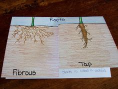 The Inspired Classroom: Types of Roots: A Science Foldable
