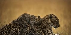 petizione: BELGIUM: STOP IMPORT OF HUNTING TROPHIES OF AFRICAN BIG FIVE: LION, LEOPARD, BUFFALO, ELEPHANT AND RHINO
