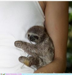 Hold a baby sloth, monkey, or koala Cute Baby Sloths, Cute Sloth, Cute Baby Animals, Funny Animals, Baby Otters, Wild Animals, Alpacas, My Spirit Animal, Cute Creatures