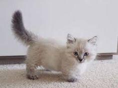 Image result for grey long haired kitten